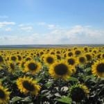 В I квартале 2012/13 года   Румыния, Венгрия  и Болгария  сократили экспортирование семян подсолнечника.