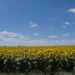 Болгария на одну третью понизила экспортирование подсолнечника.