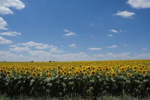 Подсолнухи Болгарии